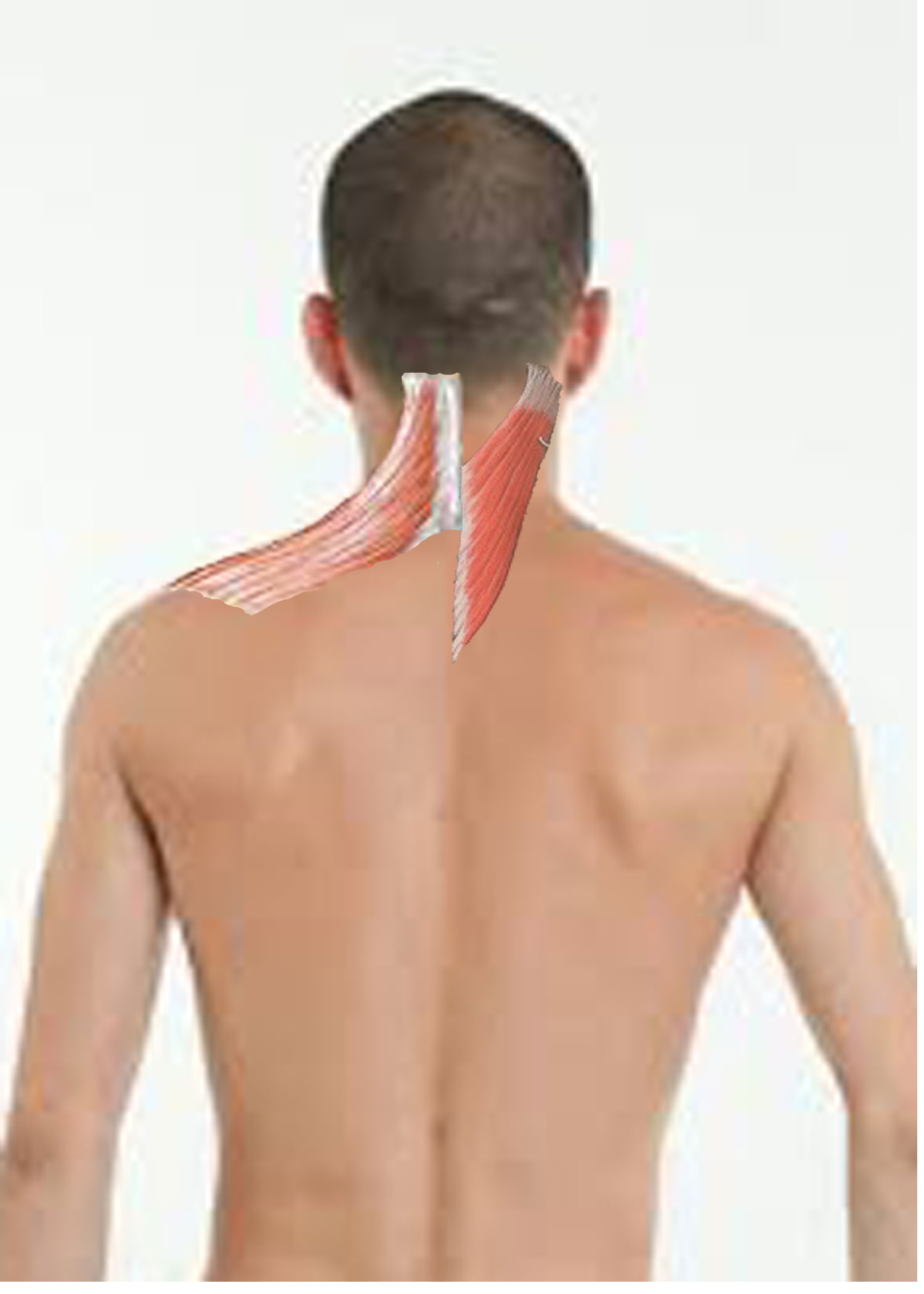 The 6 Best Muscles To Self Massage For Instant Relief Of Neck And