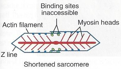 sarcomere 1