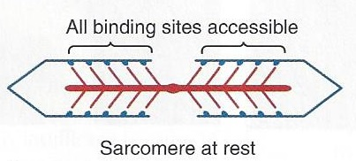 sarcomere at rest